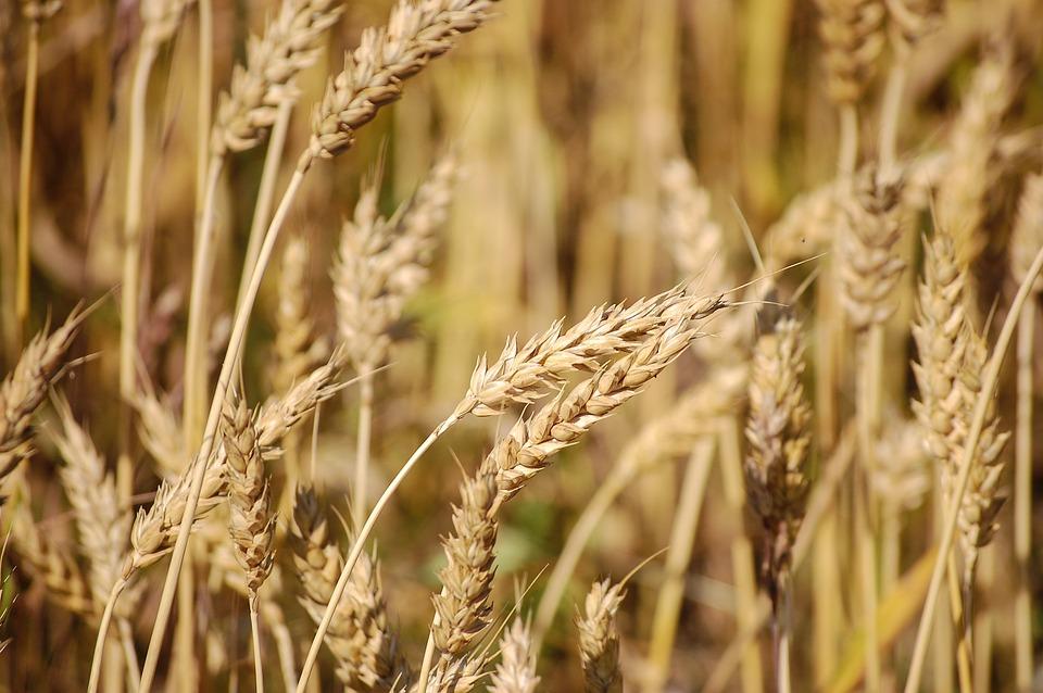 пшеница груз
